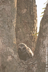 Young Mottled Woon Owl (Robbert met dubbel B) Tags: park wood india nature photography wildlife indian young natuur safari national owl april np juvenile mottled jonge 2016 indische nationaal wildlifephotography tadoba bosuil andhari juveniel juveniele wildfotografie
