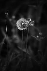 Fluff (gpa.1001) Tags: california owensvalley blackandwhite easternsierra