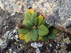 Brachyglottis bellidioides var. crassa (dracophylla) Tags: newzealand asteraceae codfishisland whenauhoa brachyglottisbellidioidesvarcrassa