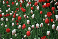 IMG_5496 (a_melie10) Tags: travel flowers ontario tulips ottawa tulipfestival