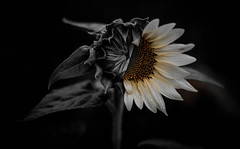 Non-Conformist (Ashley M. Brown) Tags: summer bw flower nature spring tennessee sunflower half bloom colorsplash equality nonconformist bloomed