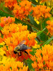 "Busy Bee - Butterfly Weed (""Just an ol' nature boy takin' a picture"") Tags: macro up closeup insect close bee bumblebee fujifilm butterflyweed asclepiastuberosa xs1"