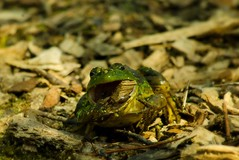 Gotta' Get My Fiber! (Nutzy402) Tags: frog amphibian animal frogs nature wildlife pond ponds mulch eating funny nebraska fontenelleforest natureconservancy nikon