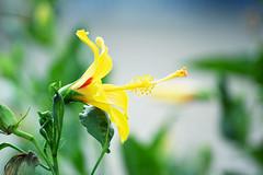 Hawaiian yellow hibiscus [explored!] (heartinhawaii) Tags: plant flower nature hawaii flora bokeh maui yellowflower hibiscus stamen tropical tropicalflower hau hibiscusflower yellowhibiscus explored inexplore hauflower nikond3300