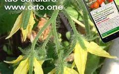 Grappoli con pochi pomodori, come rimediare (giardinaggio) Tags: pomodori coltivare