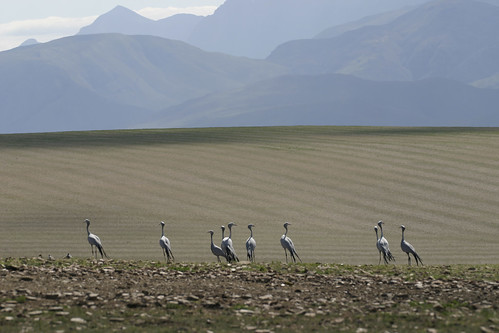 Blue Cranes , on wheat Fields , Eastern Cape