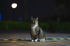 (II) (Tridentz | ) Tags: neko    cat cats meow animal night eyes bokeh sony fe gm gm85 fe85 85mm f14 gmaster a7 alpha alpha7 hongkong