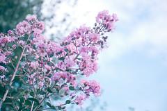 PiNk (MasumiHope) Tags: pink flower nature nantou nikon