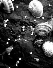 Black classic in white (S N A I L I C I O U S) Tags: blackandwhite bw inspiration classic spiral inspire snails soe autofocus snailicious   infinitexposure  snailiciousnet insight