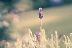 Enjoy time alone.. it helps us to grow  (claire ) Tags: pretty lavender