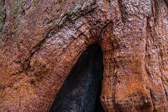 stumpyburnedlivingtree