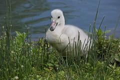Trumpeter Swan Cygnet (mark f2.9) Tags: water swan cygnet waterfowl arundel trumpeter wildlifewetlandstrust
