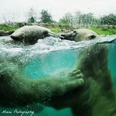 Sizzel en Todz Blijdorp (Mone-Photography) Tags: animal zoo rotterdam blijdorp polarbear polar artic polarbears ijsbeer ijsberen sizzel todz