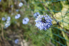 20-06-2016 010 (Jusotil_1943) Tags: 20062016 flores azules azul desenfoque selectivo