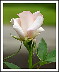 A Rose to Encourage a Lovely Day (sjb4photos) Tags: michigan ypsilanti