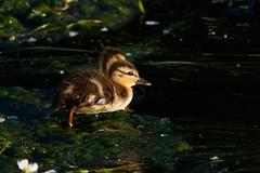 _F0A2963.jpg (Kico Lopez) Tags: birds rio spain aves galicia lugo mio anasplatyrhynchos anadeazulon