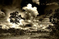 Australian Bush (betadecay2000) Tags: plant flower tree green fleur sepia bush outdoor top pflanze pflanzen australian feld australia beta palm palmtree end australien grün humilis landschaft bäume palme baum busch australie bloem austral savanne livistona heiter regenzeit