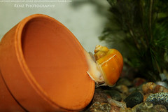 fish tank (2) (krenzphotography) Tags: life pets fish animals mystery aquarium tank goldfish snail molly tetra aquatic dalmatian freshwater longskirt