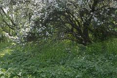 Abandoned garden in spring-2 (algimantas_tirlikas) Tags: chimney tree landscape spring may pipeline rafinery
