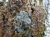 Degelia atlantica growing on Lobaria virens (aburgh) Tags: scotland isleofskye blsfieldmeeting lobaria degelia foliose corticolous lichens macrolichens