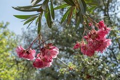 (Psinthos.Net) Tags: light summer sky sunlight nature leaves june countryside day branches blossoms bluesky valley sunrays oleander sunnyday pinkblossoms   pinkoleander             psinthosvalley