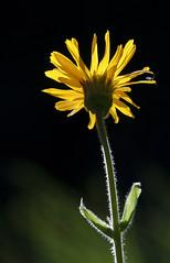 L'arnica au doux soleil de juillet (mrieffly) Tags: vosgesalsace htrhin lemassifdugrdballon canoneos50d 100400issriel