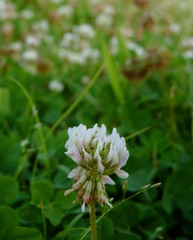 White Clover (Dendroica cerulea) Tags: summer white plant flower newjersey nj highlandpark fabaceae clover trifolium whiteclover trifoliumrepens middlesexcounty fabales faboideae donaldsonpark