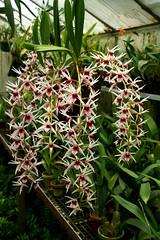 Epigeneium lyonii (rolf_leon) Tags: orchid orchids orchidee orchidées orchideen epigeneium