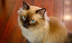 Staredown (BHiveAsia) Tags: cat cats animal animals kitten kitty pet pets portrait wild life wildlife feline felines cute nature