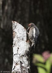Immature Red-breasted Sapsucker 5473 ( Gillfoto) Tags: bird alaska juneau sapsucker redbreasted sphyrapicusruber