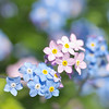 Blue and pink Forget-me-nots (photoart33) Tags: pink flowers blue plants macro floral garden square spring soft bright may wildflower myosotis forgetmenotflowers persephonesgarden