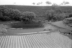 tea and rice (Nathan Parry) Tags: china rural canon rice tea kodak d76 fields a1 sichuan ilford luzhou pan400 canon4200f
