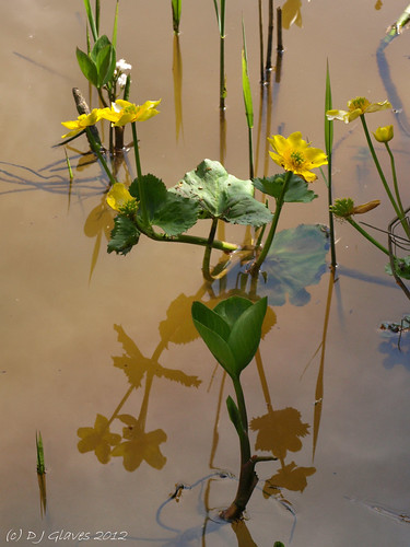 Marsh-marigold reflected