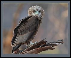 Balance & poise! (Rainbirder) Tags: kenya bateleur terathopiusecaudatus tsavowest rainbirder