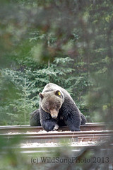 IMG_4195-Grizzly on the Tracks 1A (Wild Song Photo) Tags: canada nature spring wildlife ab alberta lakelouise boar banffnationalpark railwaytracks grizzlybear highway1a bowvalleyparkway rrtracks silvertipbear bear134