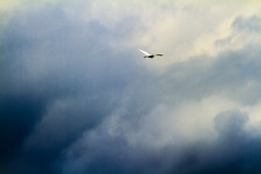 """亞洲水鳥藍空獨航 Asian Waterbird in Flight"" / 自然 Nature / SML.20130509.7D.41593.P1.L1"