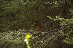 """Varied Thrush • <a style=""""font-size:0.8em;"""" href=""""http://www.flickr.com/photos/63501323@N07/8758257404/"""" target=""""_blank"""">View on Flickr</a>"""