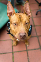 Earrrrs (Knight725) Tags: dog pennslanding d800 2470f28 adoptionevent