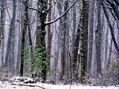 The Woods Are Lovely, Dark and Deep (David Hoffman '41) Tags: trees winter snow cold nature weather forest dark season landscape virginia woods scenery moody bare deep falling robertfrost limbs trunks lovely leafless poetical boles charlottecourthouse charlottecounty