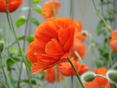 poppies 012 (cellocarrots) Tags: poppies