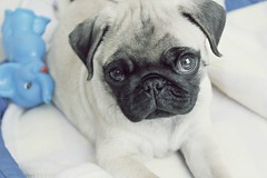 Sweetheart (notfakemaris) Tags: bw dog baby love pug cachorro