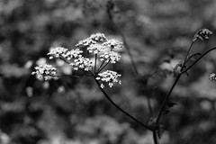 Greens in black and white (FranklyVic) Tags: flowers england nature woodland walking blackwhite woods eastengland