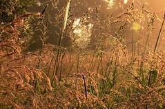 Morgen im Colsrak-Moor - ber den Nebeln steigt die Sonne empor; Alte Sorge, Stapelholm (56) (Chironius) Tags: morning flower fleur grass germany deutschland dawn blossom alba flor pantano erba amanecer peat swamp bottoms alemania grasses gras marsh moor bog fiore blte marais allemagne morgen germania ochtend schleswigholstein herbe sump matin  blten mattina aube grser ogie sumpf pomie morgendmmerung morgengrauen   gramines niemcy dageraad  tourbire   poales  stapelholm turbera  pomienie marcageuse commeliniden ssgrasartige szlezwigholsztyn colsrakmoor