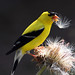 Bountiful Harvest - Adult male American Goldfinch backlit eats thistle seeds.
