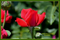 Red rose (Pepe (ADM)) Tags: flowers red flores nature rose flor redrose fiori fleure