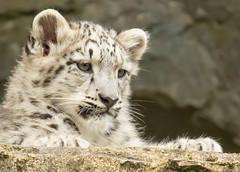 Snow Leopard Cub (TenPinPhil) Tags: cute canon zoo leopard marwell snowleopard marwellzoo 100400l philipharris flickrbigcats 5dmarkiii tenpinphil