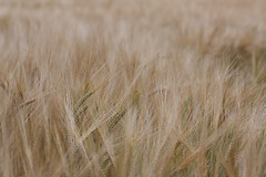Barley,Hordeum vulgare, Fodderty, Knockfarrel, Strathpeffer. (Shandchem) Tags: barley scotland highland region strathpeffer knockfarrel hordeumvulgare fodderty