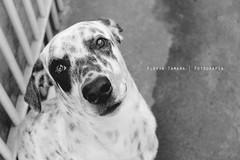 Sheldelicious! O co charmoso! (Flvia Tamara) Tags: dog co cachorro charmoso