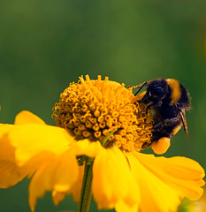 Bumble Bee (HannahGE) Tags: summer flower macro green up yellow bug garden insect wings close flight bee late pollen