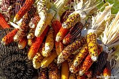 Indian Corn (Mstrsail) Tags: corn indian colored multi